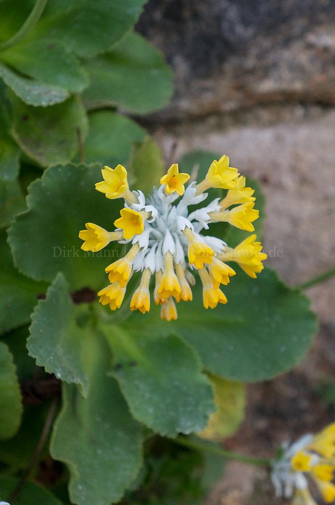 Foto: Primel (botanisch: Primula palinuri)