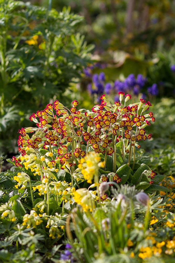 Foto: Rote Schlüsselblume (botanisch: Primula veris 'Sunset Shades')