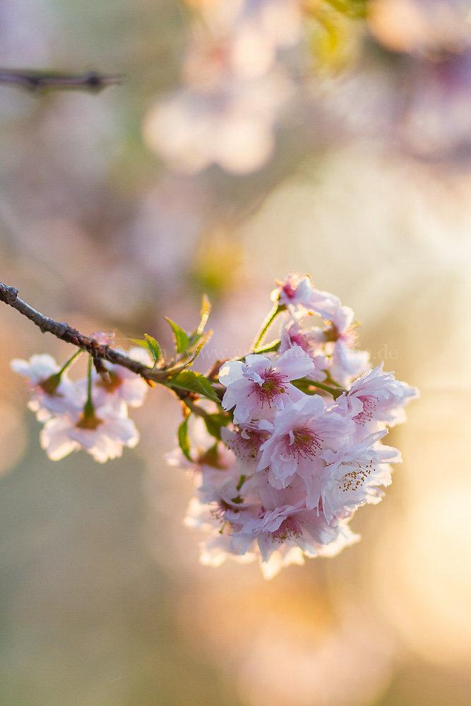Foto: Japanische Mandelkirsche (botanisch: Prunus japonica)