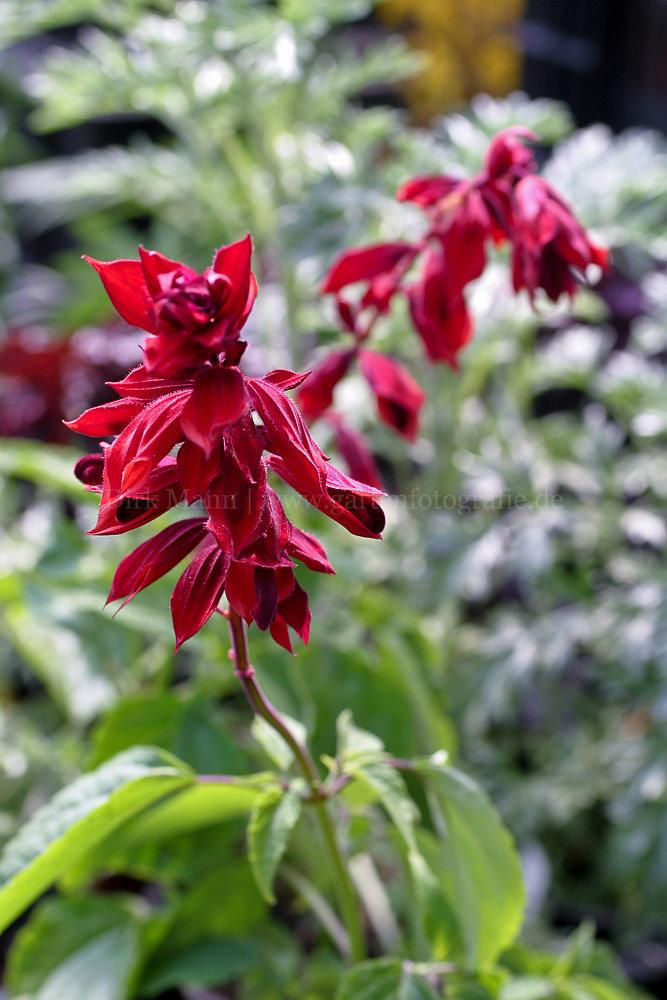 Foto: Kardinal-Salbei (botanisch: Salvia fulgens)