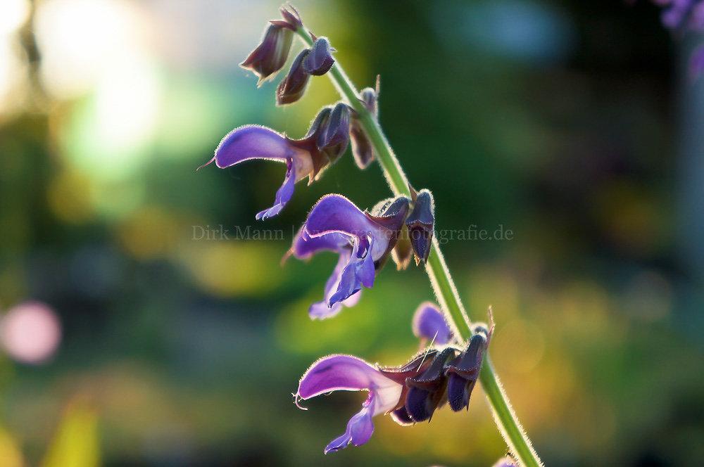 Foto: Chinesischer Salbei (botanisch: Salvia miltiorrhiza)