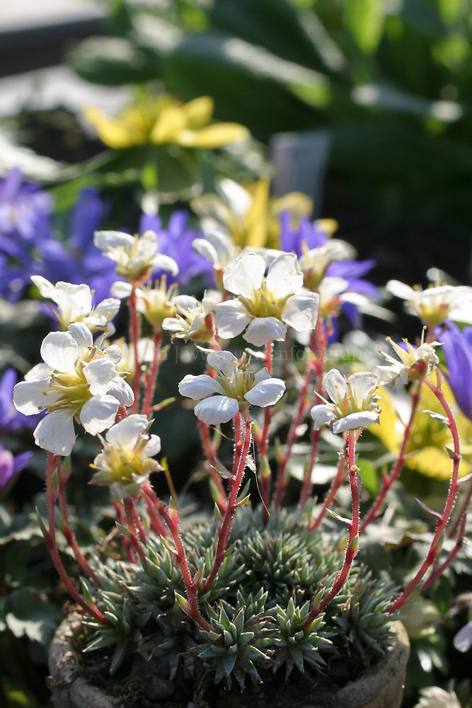 Foto: Burser-Steinbrech (botanisch: Saxifraga burseriana 'Gloria')