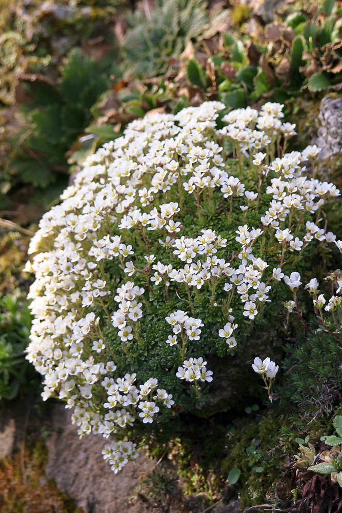 Foto: Weißer Steinbrech (botanisch: Saxifraga)