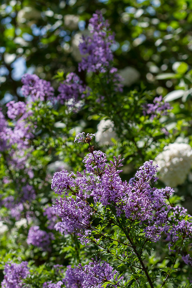 Foto: Flieder (botanisch: Syringa)
