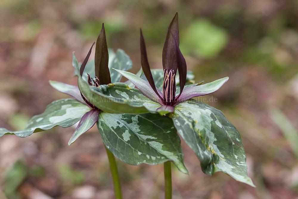 Foto: Stinkende Waldlilie (botanisch: Trillium foetidissimum)
