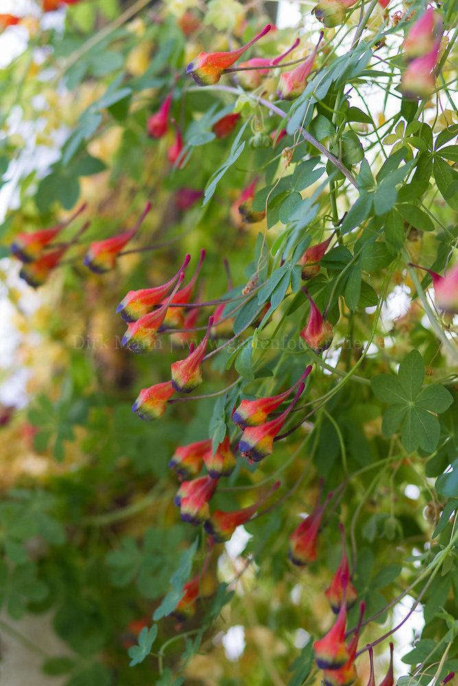 Foto: Dreifarbige Kapuzinerkresse (botanisch: Tropaeolum tricolor)