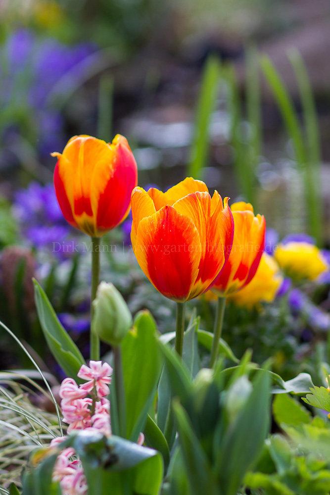 Foto: Tulpe (botanisch: Tulipa)