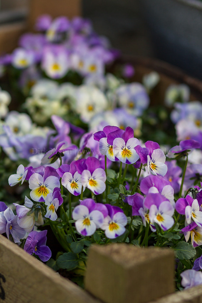 Foto: Hornveilchen (botanisch: Viola cornuta)