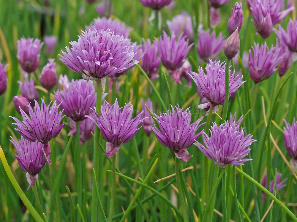 Foto: Schnittlauch (botanisch: Allium schoenoprasum)