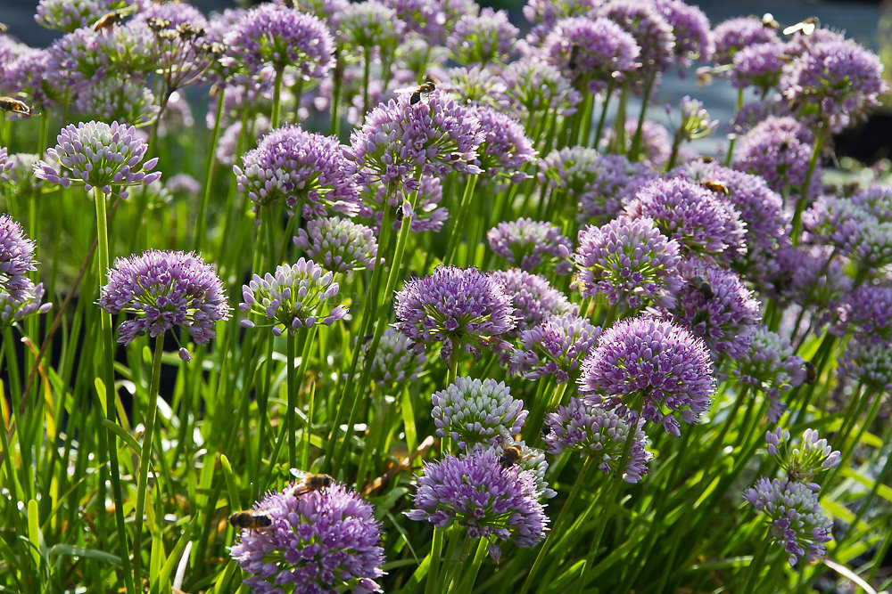 Foto: Berg-Lauch  (botanisch: Allium senescens)