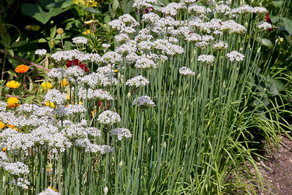 Foto: Schnitt-Knoblauch (botanisch: Allium tuberosum)