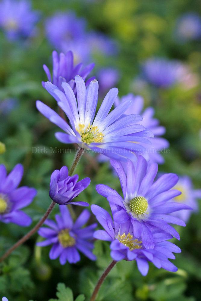 Foto: Balkan-Strahlen-Anemone (botanisch: Anemone blanda)