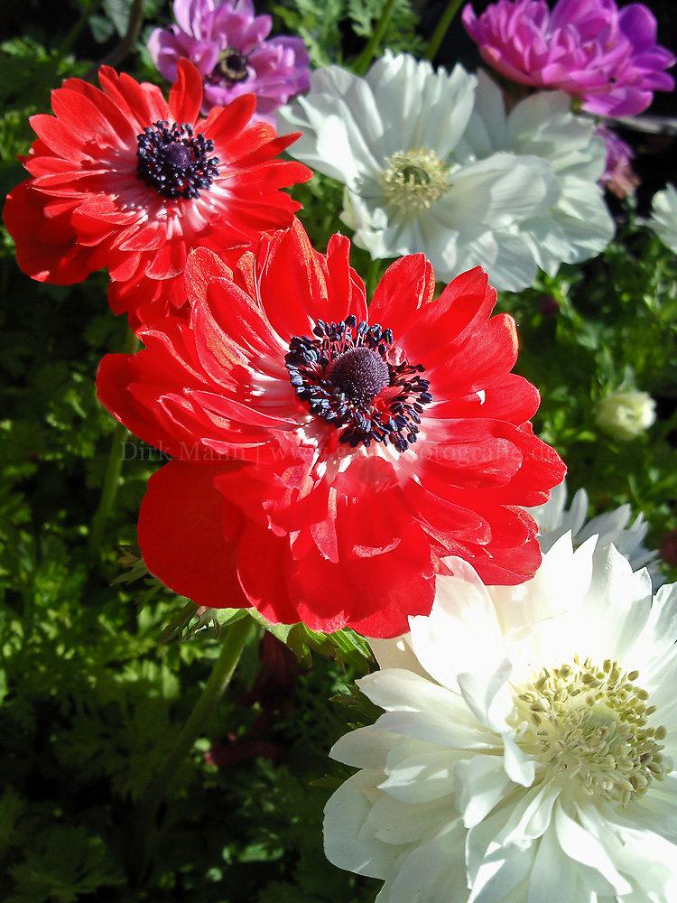 Foto: Kronenanemone (botanisch: Anemone coronaria)