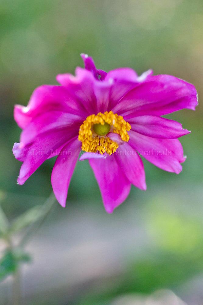 Foto: Herbst-Anemone (botanisch: Anemone hupehensis var. japonica 'Pamina')