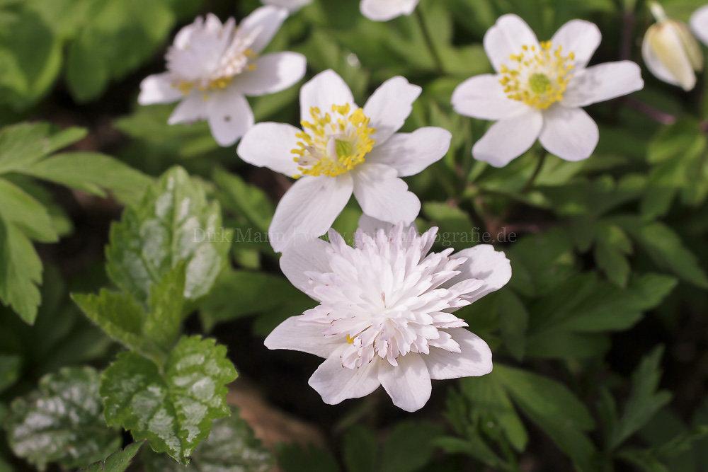 Foto: Gefülltes Buschwindröschen (botanisch: Anemone nemorosa 'Vestal')