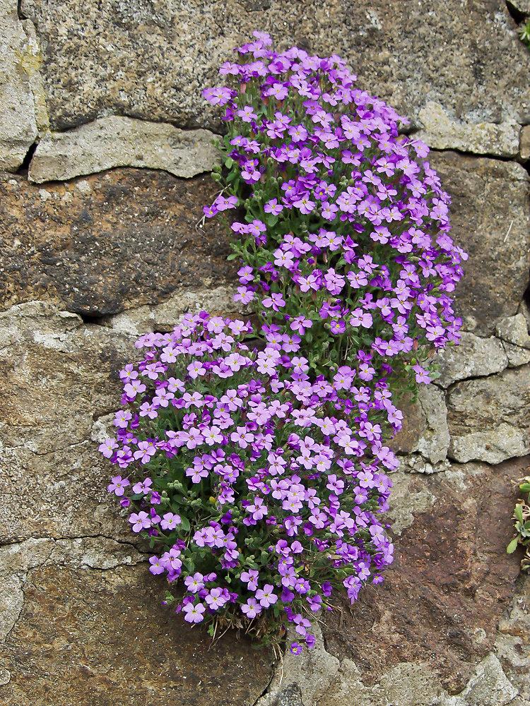 Foto: Blaukissen (botanisch: Aubrieta)