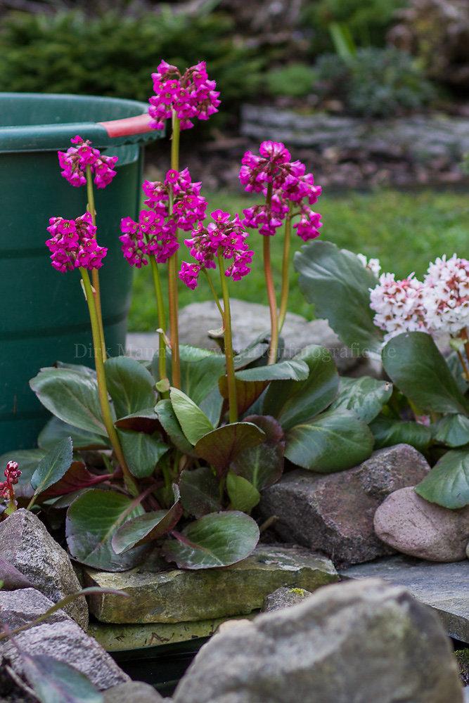 Foto: Bergenie (botanisch: Bergenia)