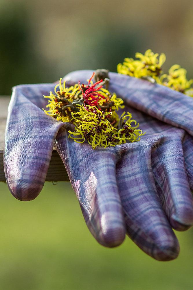 Foto: Zaubernuss (botanisch: Hamamelis)