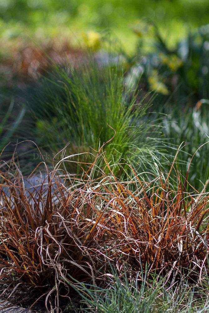 Foto: Segge (botanisch: Carex)