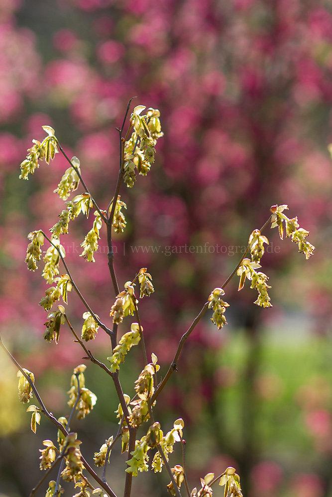 Foto: Chinesische Scheinhasel (botanisch: Corylopsis sinensis)