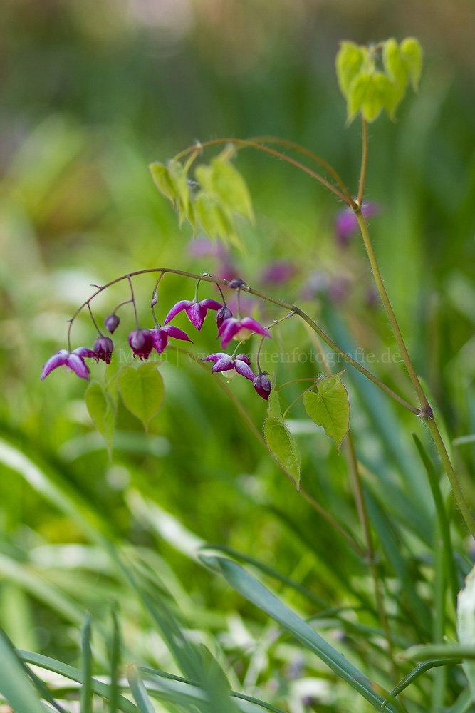 Foto: Elfenblume (botanisch: Epimedium)