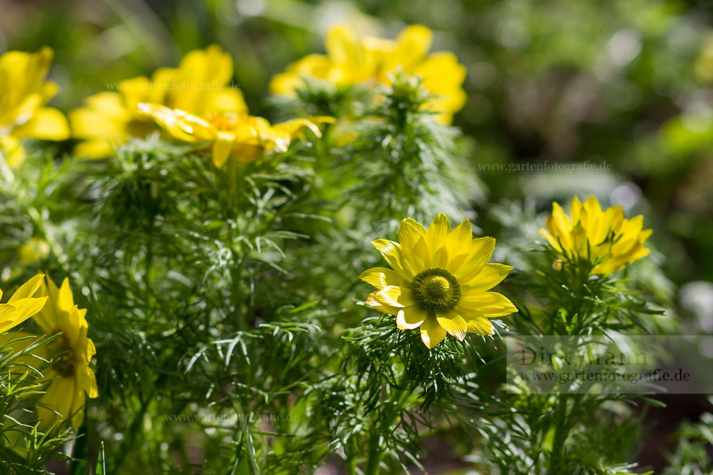 Foto: Frühlings-Adonisröschen (Adonis vernalis)