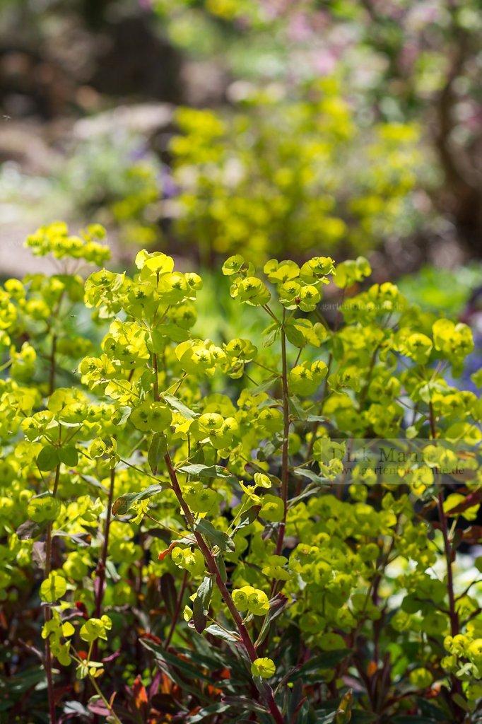 Foto: Purpur-Mandel-Wolfsmilch (Euphorbia amygdaloides 'Purpurea')