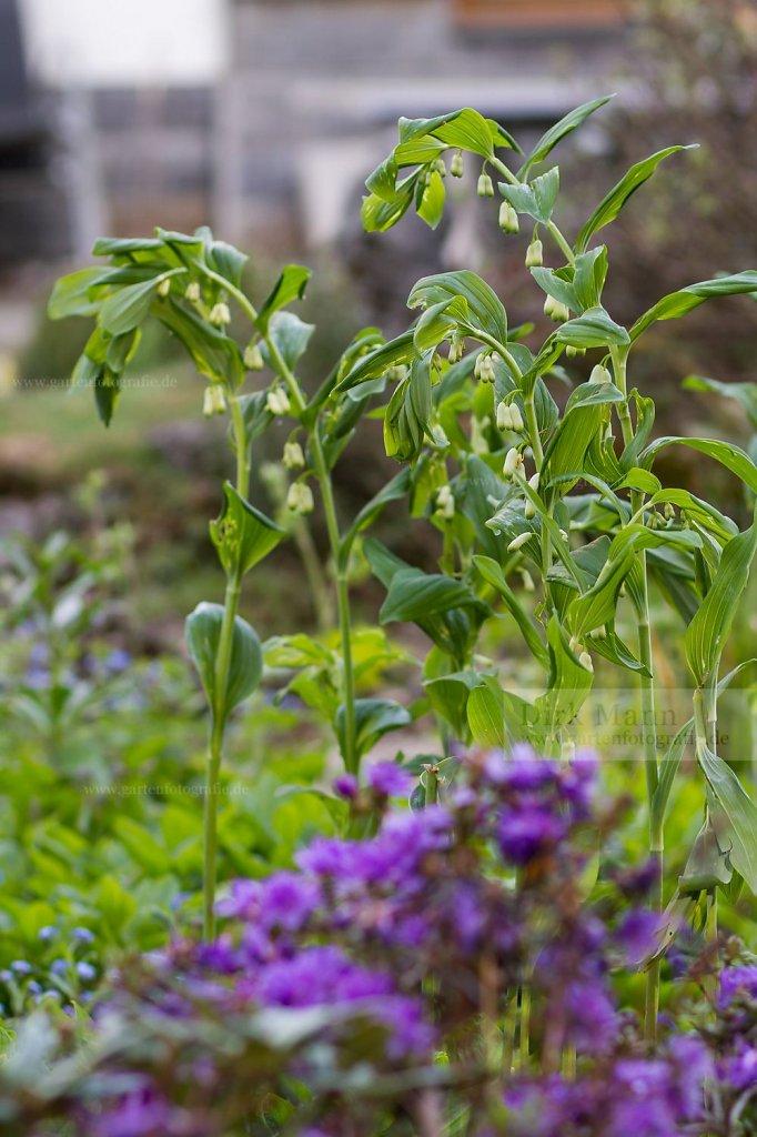 Foto: Salomonssiegel (Polygonatum x hybridum)