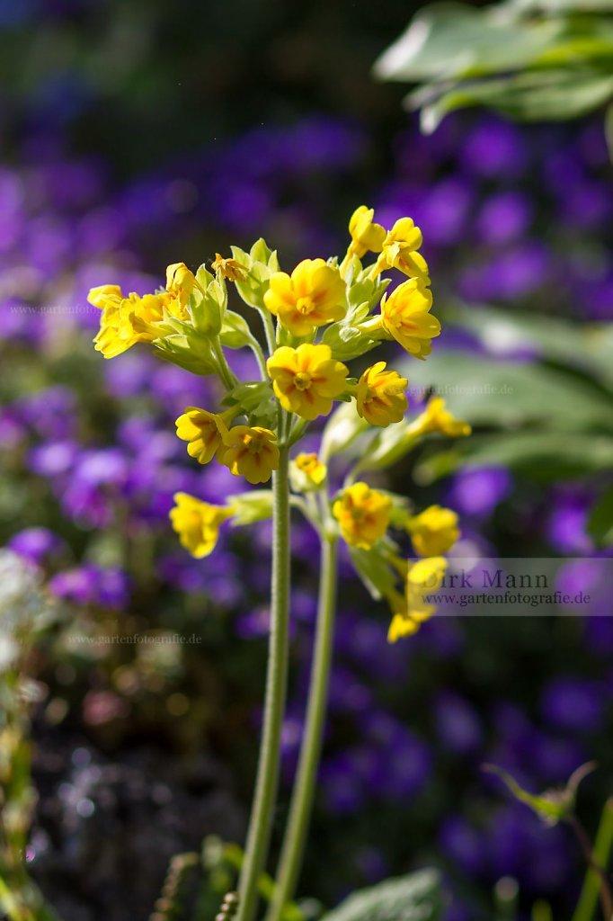 Foto: Echte Schlüsselblume (Primula veris)