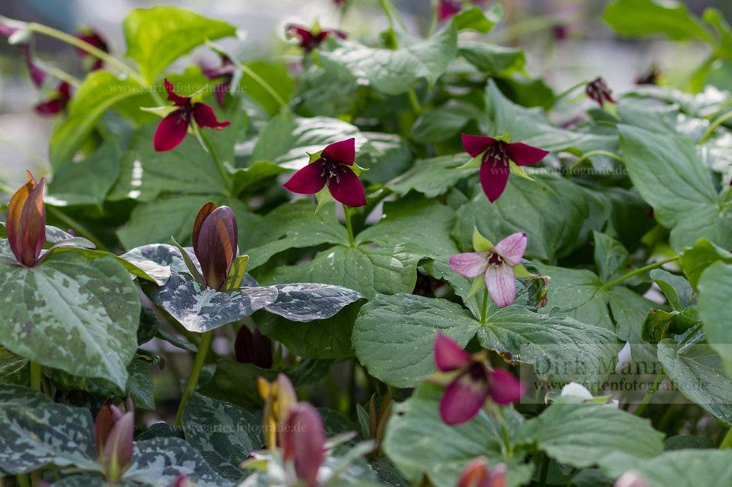 Foto: Waldlilie (Trillium sulcatum)