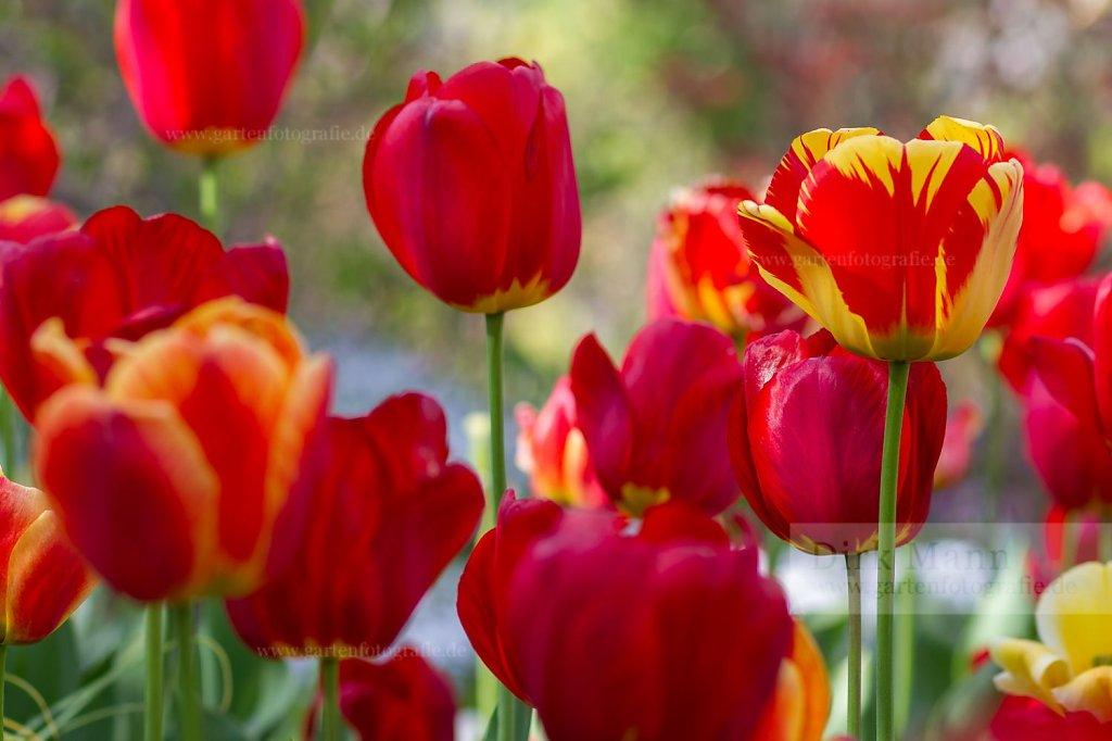 Foto: Prächtige rote Tulpen