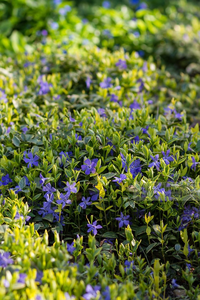 Foto: Kleines Immergrün (Vinca minor 'Aureovariegata')