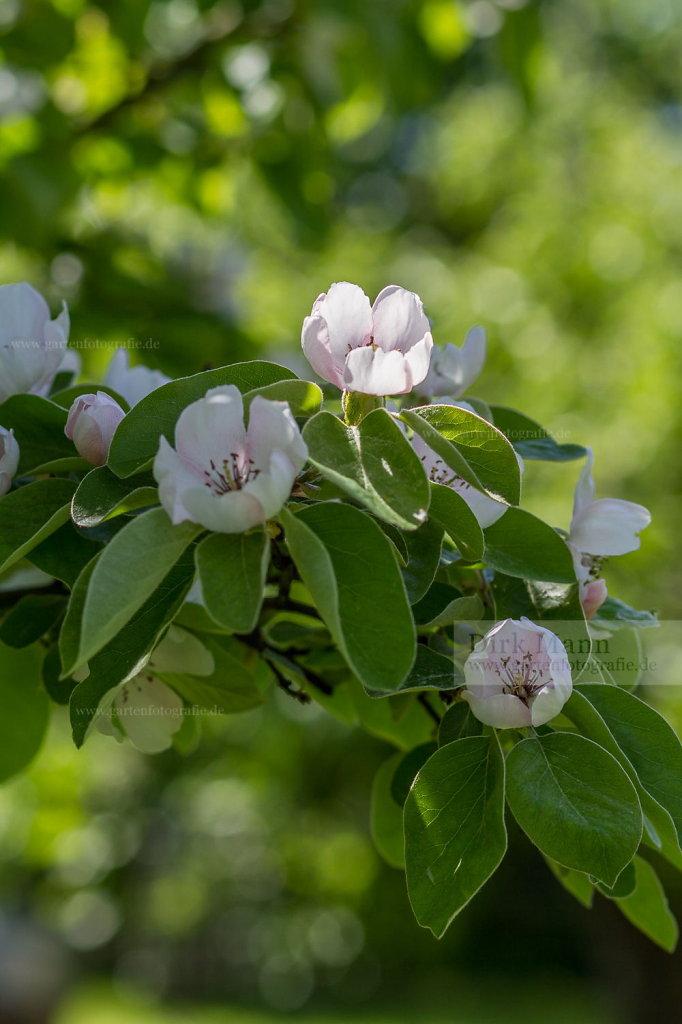 Foto: Quitte (Cydonia oblonga)