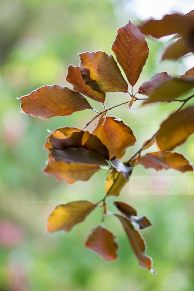 Foto: Blutbuche (Fagus sylvatica 'Atropurpurea Group')