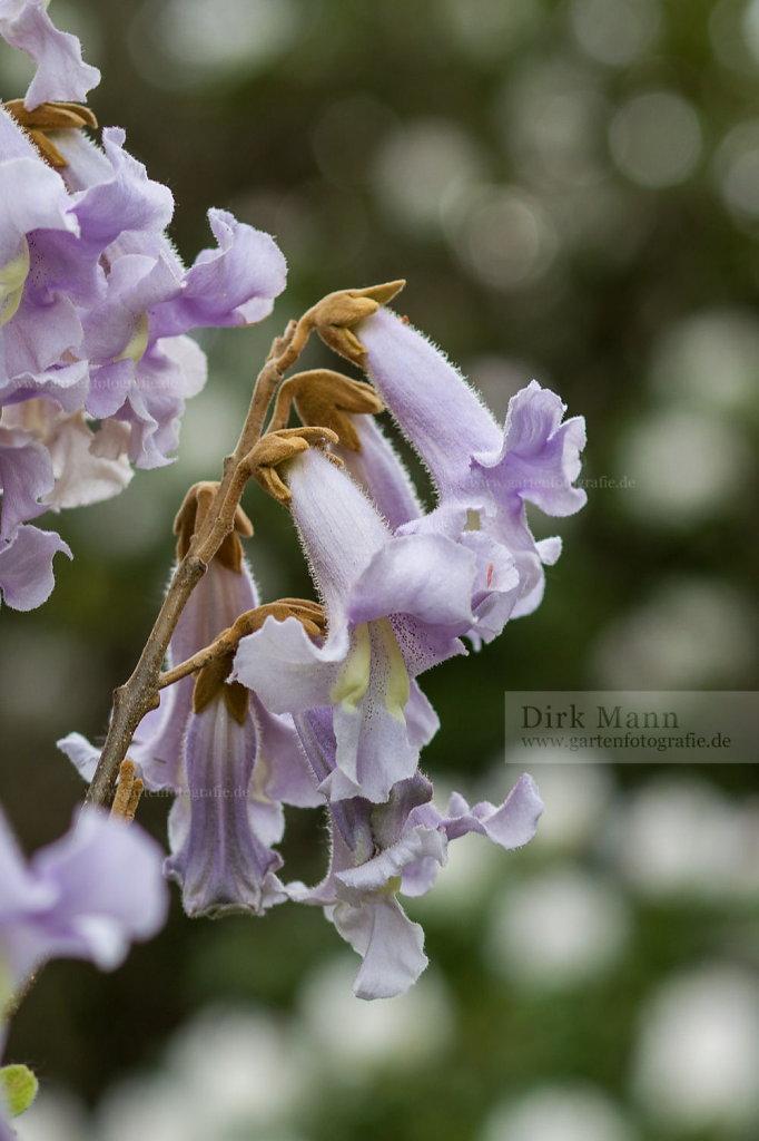 Foto: Blauglockenbaum (Paulownia tomentosa)