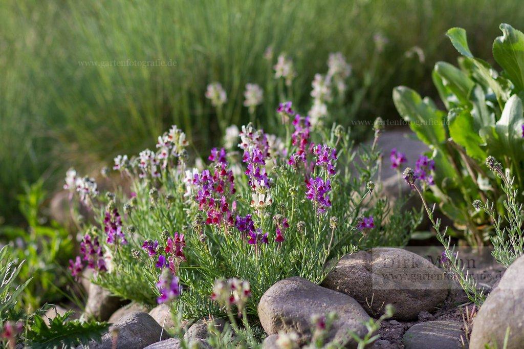 Foto: Alpenhelmkraut (Scutellaria alpina 'Arcobaleno')