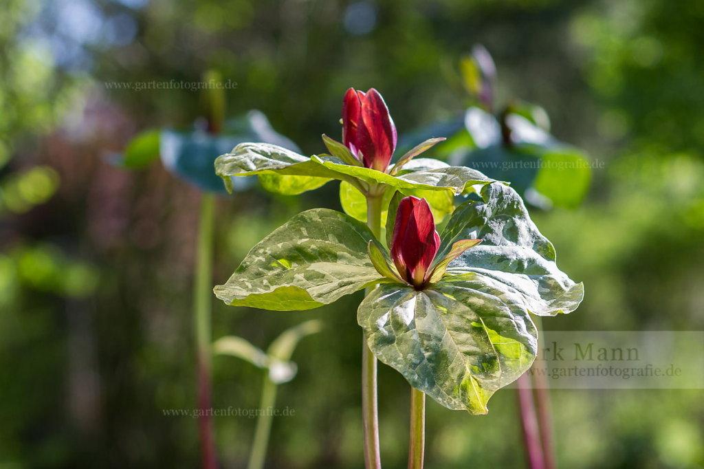 Foto: Rote Waldlilie (Trillium cuneatum)