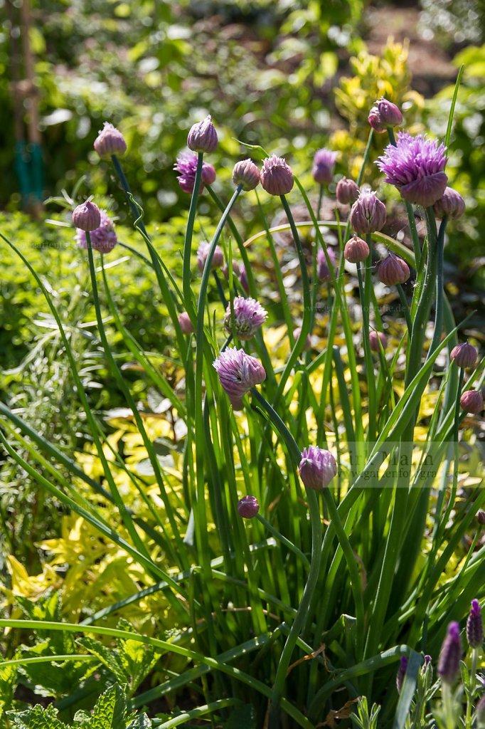 Foto: Schnittlauch (Allium schoenoprasum)