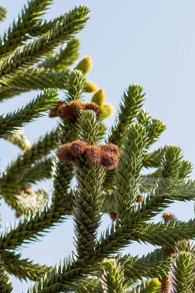 Foto: Chilenische Andentanne (Araucaria araucana)