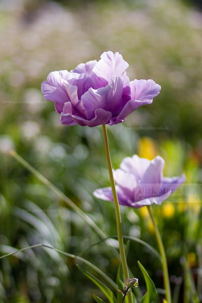 Foto: Violette Tulpe im Gegenlicht