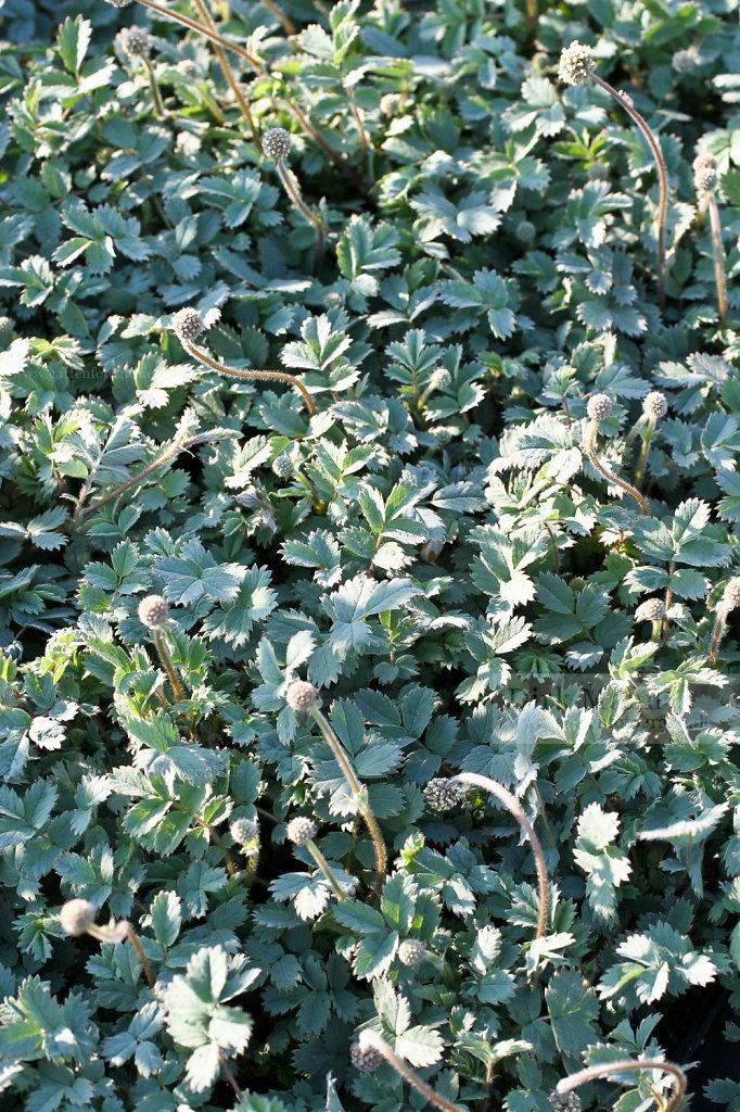 Foto: Blaugraues Stachelnüßchen (Acaena caesiiglauca)