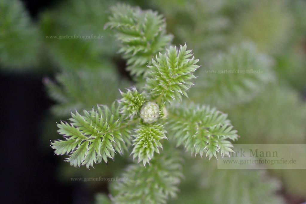 Foto: Farnblättriges Stachelnüsschen (Acaena myriophylla)