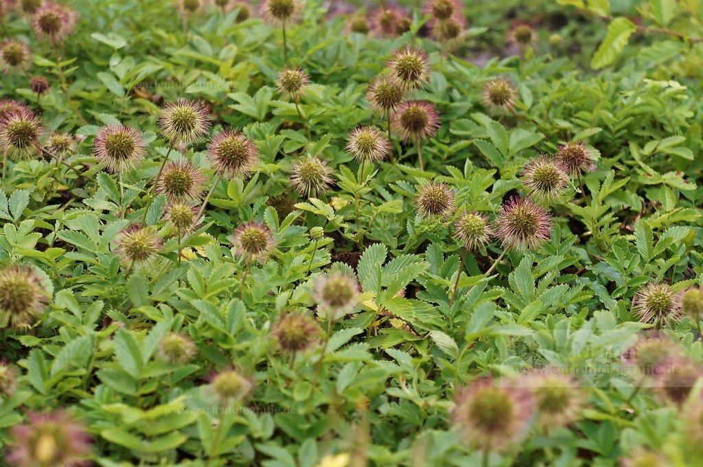 Foto: Stachelnüsschen (Acaena ovalifolia)
