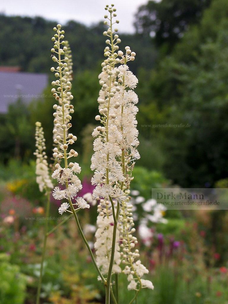 Foto: Silberkerze (Actaea japonica)