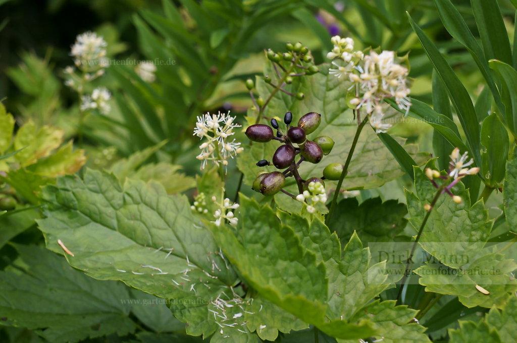 Foto: Ähren-Christophskraut (Actaea spicata)