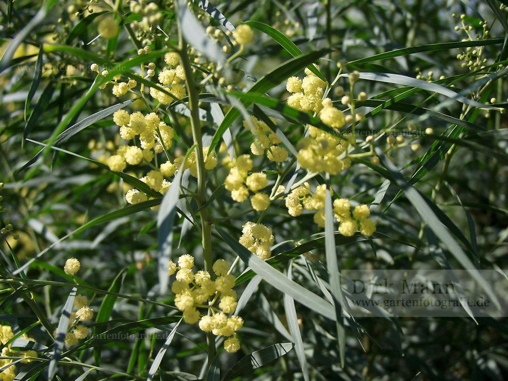 Foto: Akazie (Acacia baileyana)