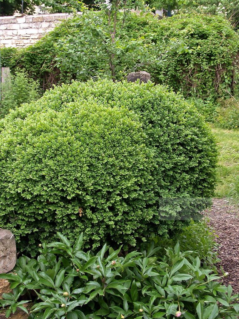 Foto: Buchsbaum (Buxus sempervirens)