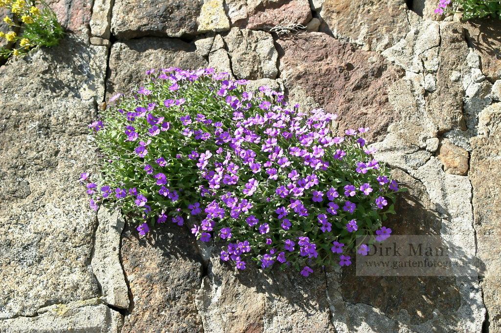 Foto: Blaukissen (Aubrieta 'Royal Violet')