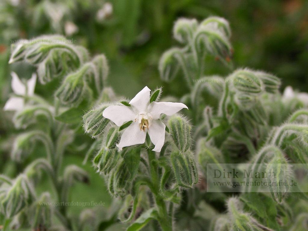 Foto: Weißer Borretsch (Borago officinalis 'Alba')