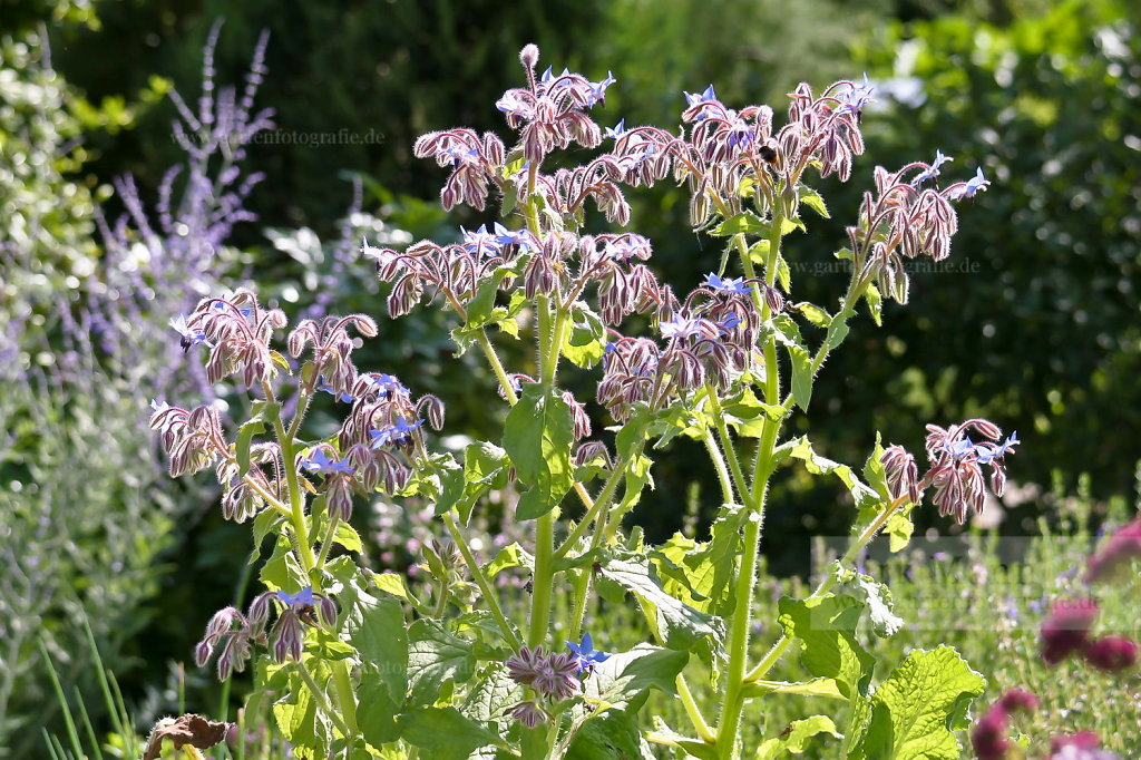 Foto: Borretsch (Borago officinalis)